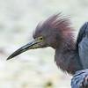 Little Blue Heron, close up