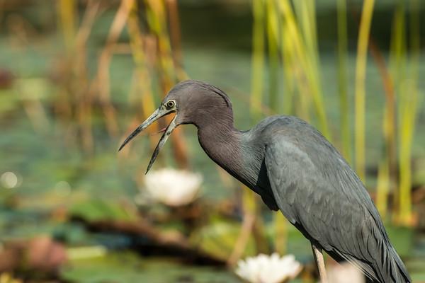 Little Blue Heron,
