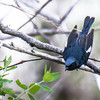 Black-throated Blue Warbler