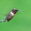 Rucy-throated Hummingbird