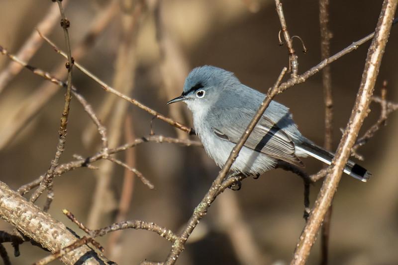 Blue-gray Gnatcatcher (M)