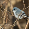 Blue-gray Gnatcatcher (M)