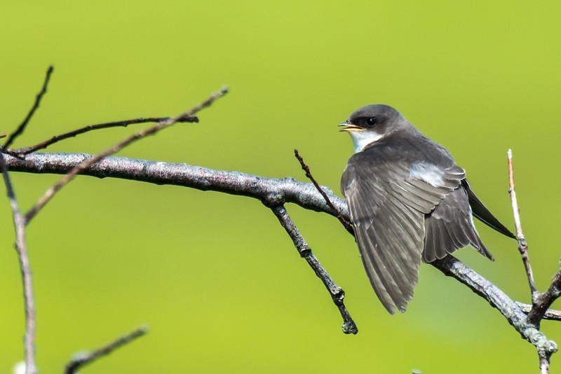 Fledgling Tree Sparrow