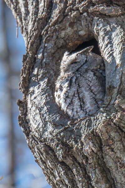 Gray Screech Owl