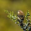 Yellow-rumped Warbler on Juniper