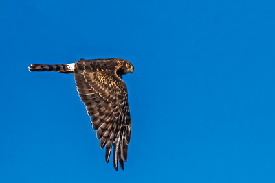 Harrier Hawk