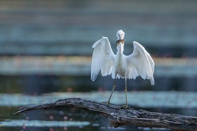 Little Blue Heron  on log