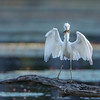 Little Blue Heron  on log