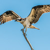 Osprey on a stick