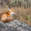 Fox on a rock