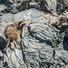 Raccoon on cliff