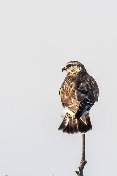 Female Harrier Hawk