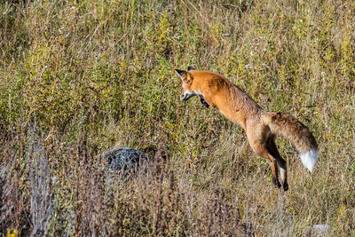 fox pouncing