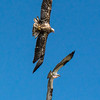 Eagle in pursuit