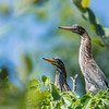 Two Green Herons in tree