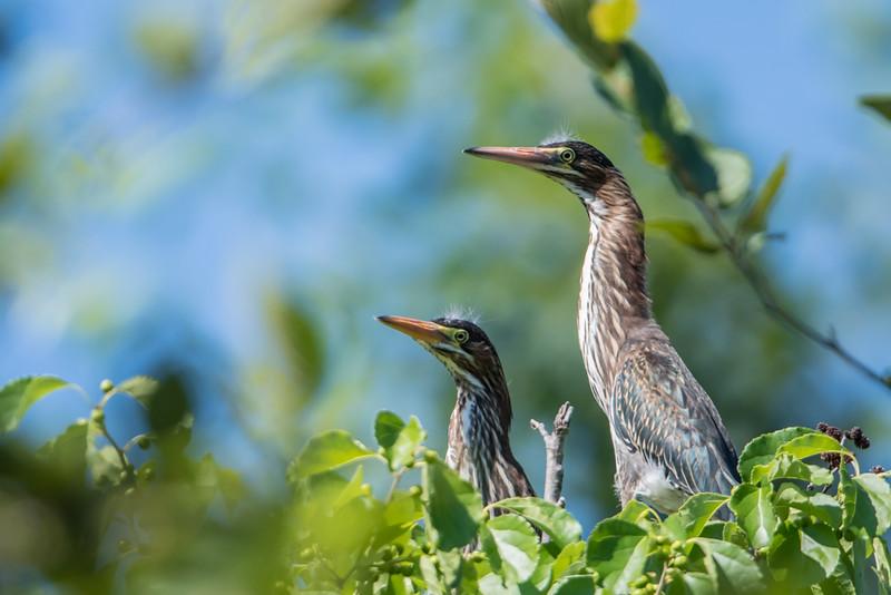 Two Green Herons in tree