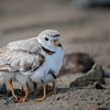 Piping Plover Mom with chicks