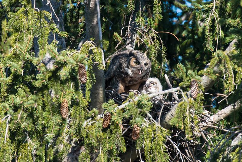 Great Horned Owl feeding chick