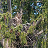 Great Horned Owl in Nest