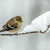 Ame4rican Goldfinch