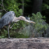 GBH with an itch