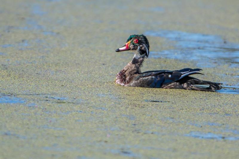 Putting on breeding plumage
