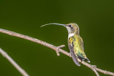 Ruby-throated hummingbird  tongue
