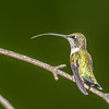 Ruby-throated hummingbird  tongue