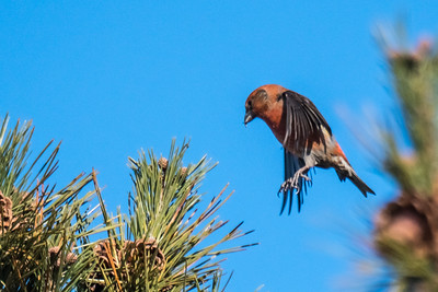 Crossbill in flight.