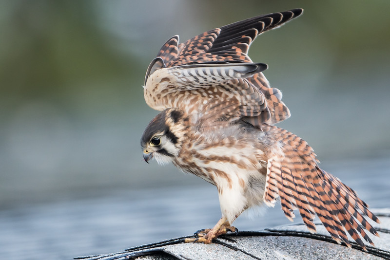 Young American Kestrel on roof