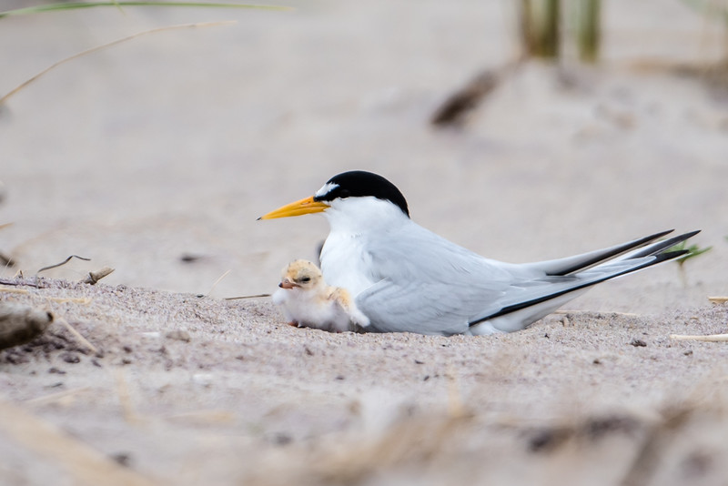 Least Tern with chick