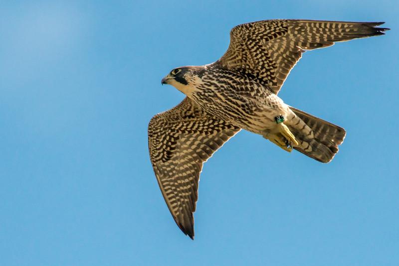 Female Peregrine Falcon in flight