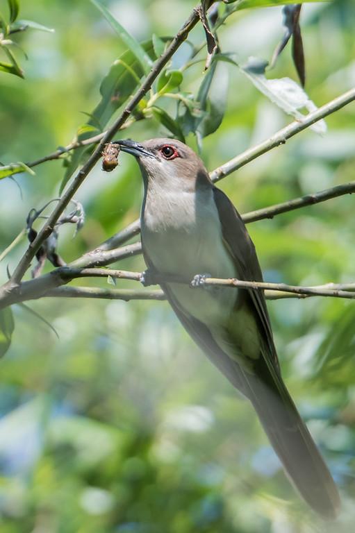 Black-billed Cickoo