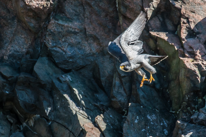 Male Peregrine in flight