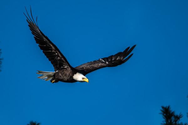 Bld Eagle