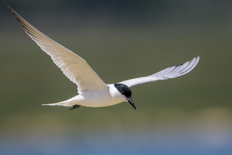 Gukk-billed Tern