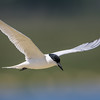 Gukk-billed Tern