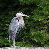 GBH on a rock
