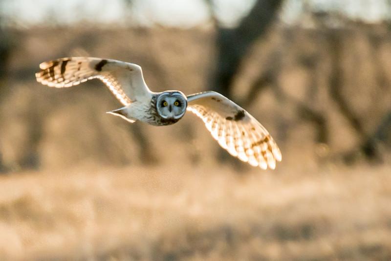 Short Eared OWl heavy crop