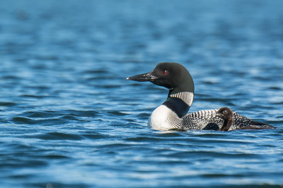 Loon Mom and chick