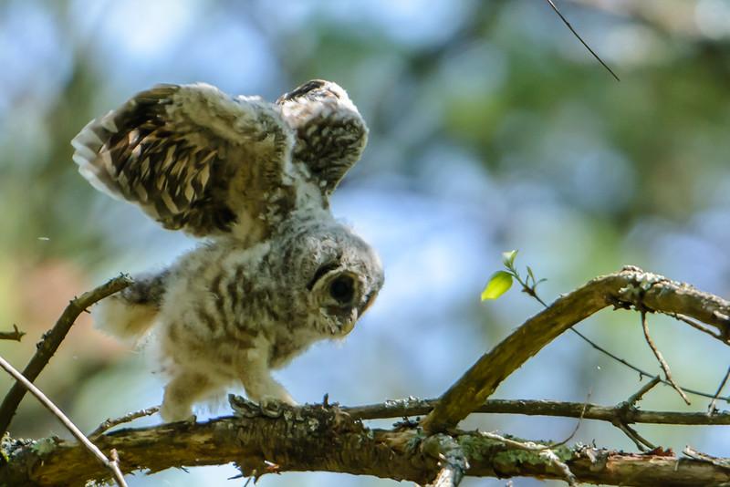 Barred Owl Owlet