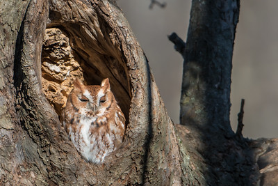 Red-morph Eastern Screech Owl
