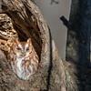 Red-morph Eastern Screech Owl