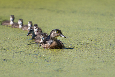 Mom and Chicks, Wood Duck