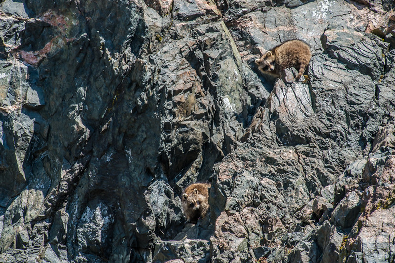 Two raccoons on a cliff