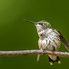 Ruby-throated hummingbird  fluffed