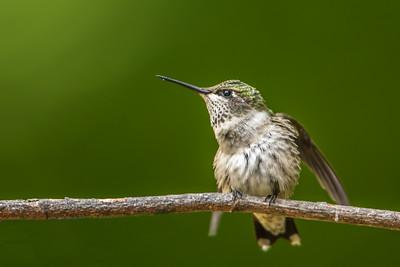 Ruby-throated hummingbird  fluffed
