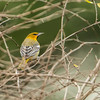 First Year Bullock's Oriole, Camcen Maine