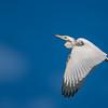 Little blue Heron, blue sky