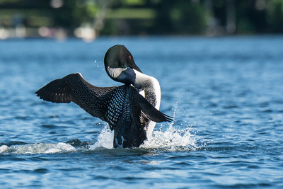 Show off Loon